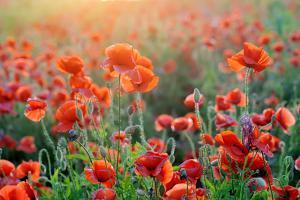 Field of Bright Red Corn Poppy Flowers in Summer by Volodymyr Burdiak