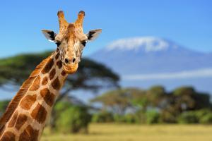 Giraffe in Front of Kilimanjaro Mountain - Amboseli National Park Kenya by Volodymyr Burdiak