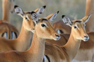 Impala on Savanna in National Park of Africa, Kenya by Volodymyr Burdiak