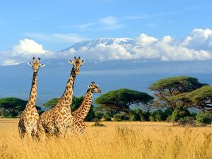 Three Giraffe on Kilimanjaro Mount Background in National Park of Kenya, Africa by Volodymyr Burdiak