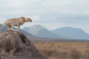 Wild African Cheetah, Beautiful Mammal Animal. Africa, Kenya by Volodymyr Burdiak