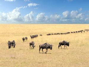 Wildebeest, National Park of Kenya, Africa by Volodymyr Burdiak