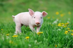 Young Funny Pig on a Spring Green Grass by Volodymyr Burdiak