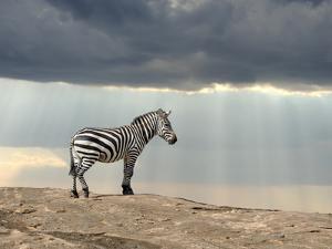 Zebra on Stone in Africa, National Park of Kenya by Volodymyr Burdiak