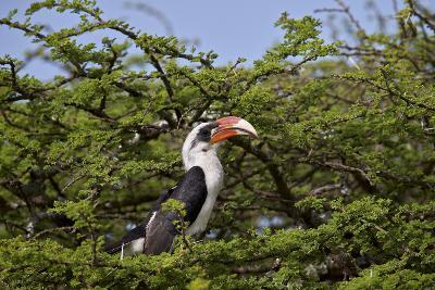 Von Der Decken's Hornbill (Tockus Deckeni)-James Hager-Photographic Print