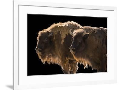 Vulnerable European wisent, Bison bonasus, at the Madrid Zoo.-Joel Sartore-Framed Photographic Print