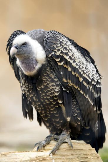 Vulture Full Length Plumage-stefano pellicciari-Photographic Print