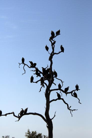 Vultures Perch on a Tree, Selinda Camp, Botswana-Anne Keiser-Photographic Print