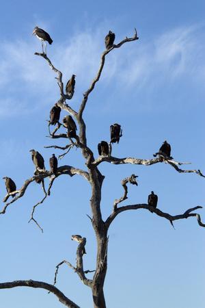 https://imgc.artprintimages.com/img/print/vultures-perched-in-a-tree-selinda-camp-botswana_u-l-q12wti20.jpg?p=0
