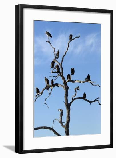 Vultures Perched in a Tree, Selinda Camp, Botswana-Anne Keiser-Framed Photographic Print