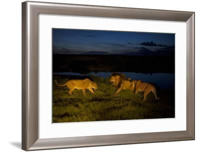 Vumbi Females, Stressed and Fiercely Protective of their Young, Get Cross an Adult Male-Michael Nichols-Framed Photographic Print