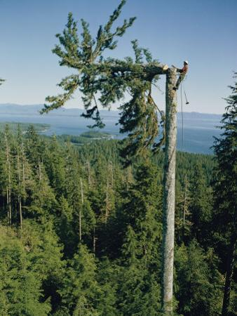 A Lumberman Tops a Sitka Spruce