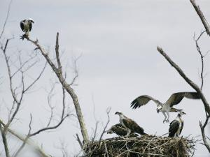 Ospreys on Their Nest by W.E. Garrett