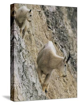 Rocky Mountain Goats on a Steep Hillside