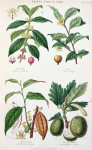 Coffee Tea Chocolate and Breadfruit Plate from a Botanical Study by W. Fitch