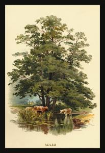 Alder Tree by W.h.j. Boot