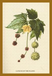 Catkins of the Planes by W.h.j. Boot