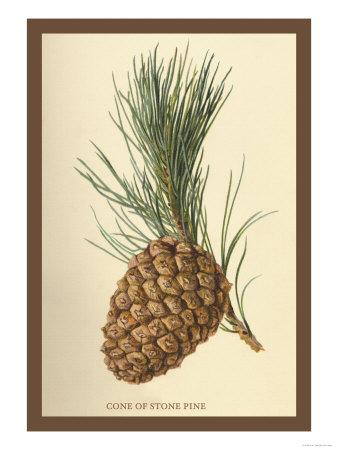 Cone of a Stone Pine