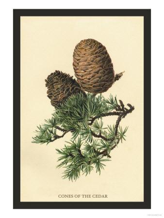 Cones of the Cedar