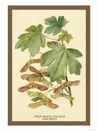 Field Maple, Foliage, and Fruit