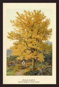 Field Maple by W.h.j. Boot
