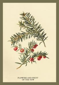 Flowers and Fruit of the Yew by W.h.j. Boot