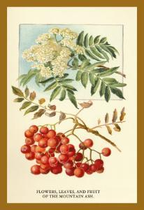 Flowers, Leaves, and Fruit of the Mountian Ash by W.h.j. Boot