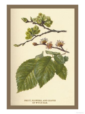 Fruit, Flower and Leaves from Wych Elm