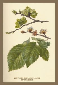 Fruit, Flower and Leaves from Wych Elm by W.h.j. Boot
