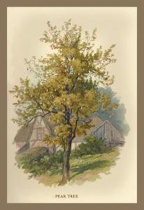 Pear Tree by W.h.j. Boot