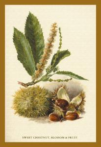 Sweet Chestnut, Blossom and Fruit by W.h.j. Boot
