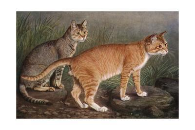 Abyssinian and Indian