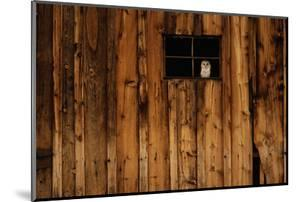 Barn Owl in Barn Window by W^ Perry Conway