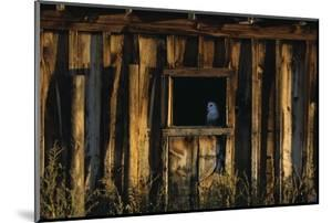 Barn Owl in Barn Window by W. Perry Conway