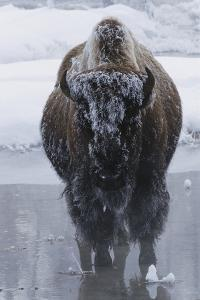 Bison Covered in Frost by W^ Perry Conway