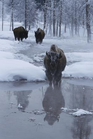 Bison Standing along a Stream in Winter
