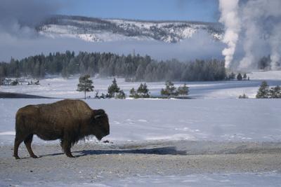 Bison Standing near Geysers in Winter