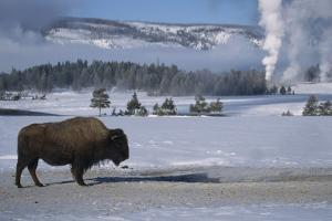 Bison Standing near Geysers in Winter by W. Perry Conway