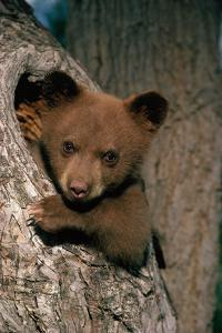 Black Bear Cub in Tree by W. Perry Conway