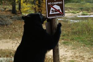 Black Bear Scratching Post by W. Perry Conway