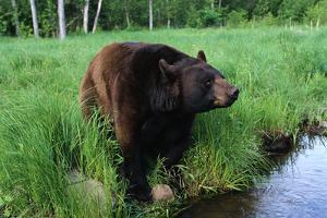 Black Bear by W. Perry Conway
