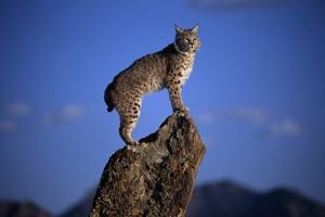 Bobcat Perched atop Rock by W. Perry Conway