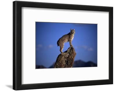 Bobcat Perched atop Rock