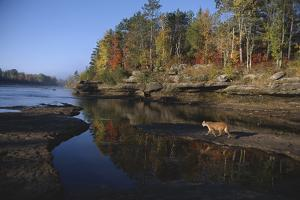 Cougar Walking along the Kettle River by W. Perry Conway