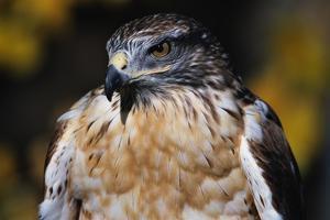 Ferruginous Hawk by W. Perry Conway