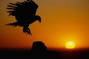 Golden Eagle at Sunset by W. Perry Conway