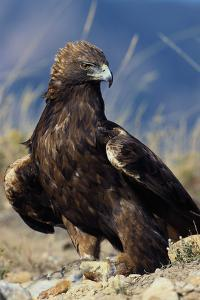 Golden Eagle Clutching Rabbit Kill by W^ Perry Conway