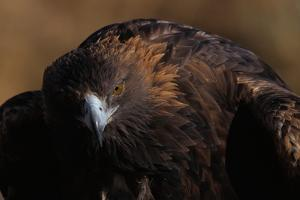 Golden Eagle by W. Perry Conway