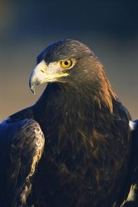 Golden Eagle by W^ Perry Conway