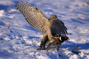 Goshawk Catching Prey by W^ Perry Conway